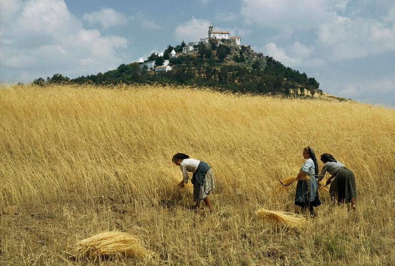 1965 Tras os Montes, Portugal women-harvest-golden-wheat-with-sickle-volkmar-k-wentzel.jpg
