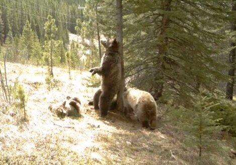 Танец медведей в заповедном лесу