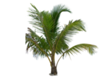 Копия palm_tree_tube_stock_iii_png_by_digitaltwist-d30sekc.png