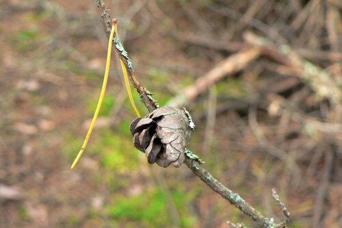 шишки серебряного леса 3
