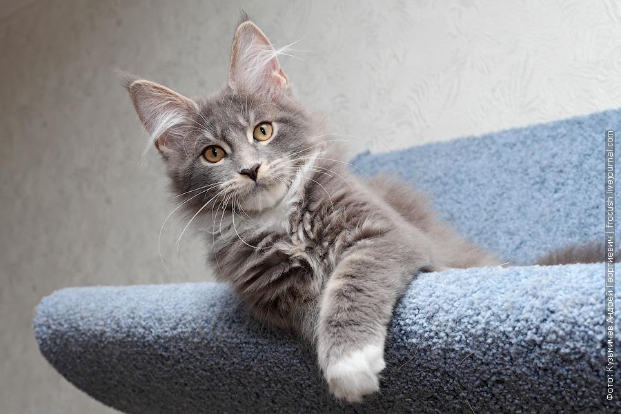 котенок мейн кун москва продажа