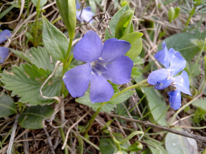 цветы синие