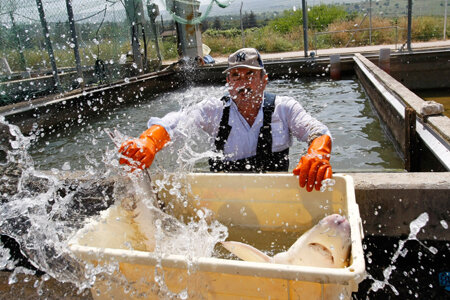 KIBBUTZ DAN, ISRAEL - APRIL 22: An Arab worker catches a spray of water in his face as he moves a struggling female sturgeon from a fish pond into a container before the fish is taken to a nearby caviar processing plant on April 22, 2009 in Kibbutz Dan,