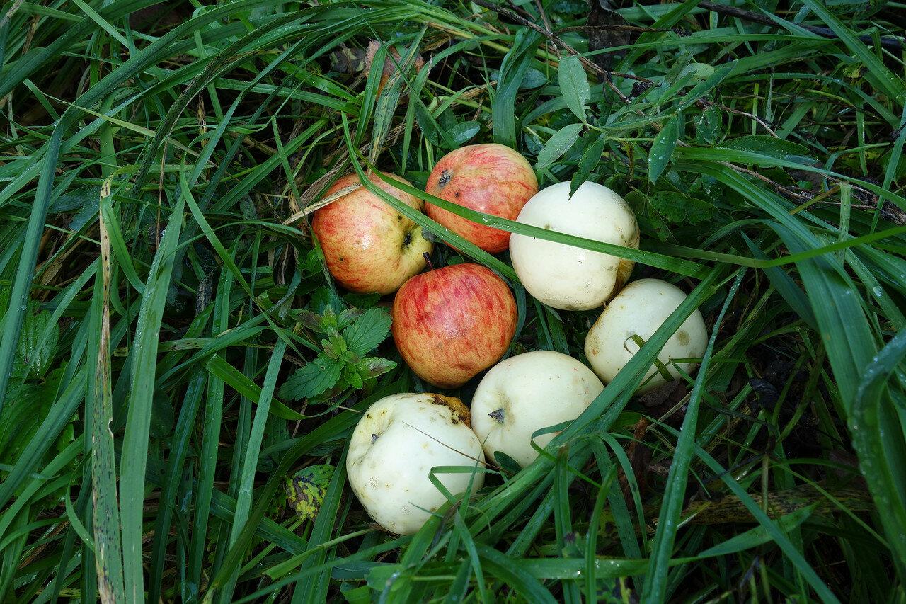 полудикие яблоки