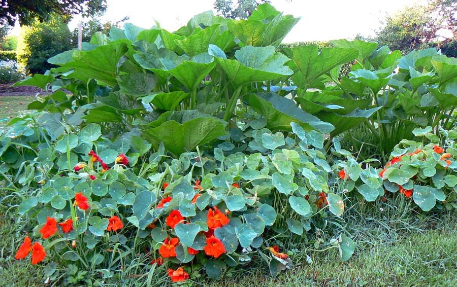 Настурция в саду-настурция, кабачки