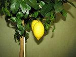 Цветок лимонник домашний фото уход в домашних условиях
