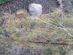 Picea omorica Pendula