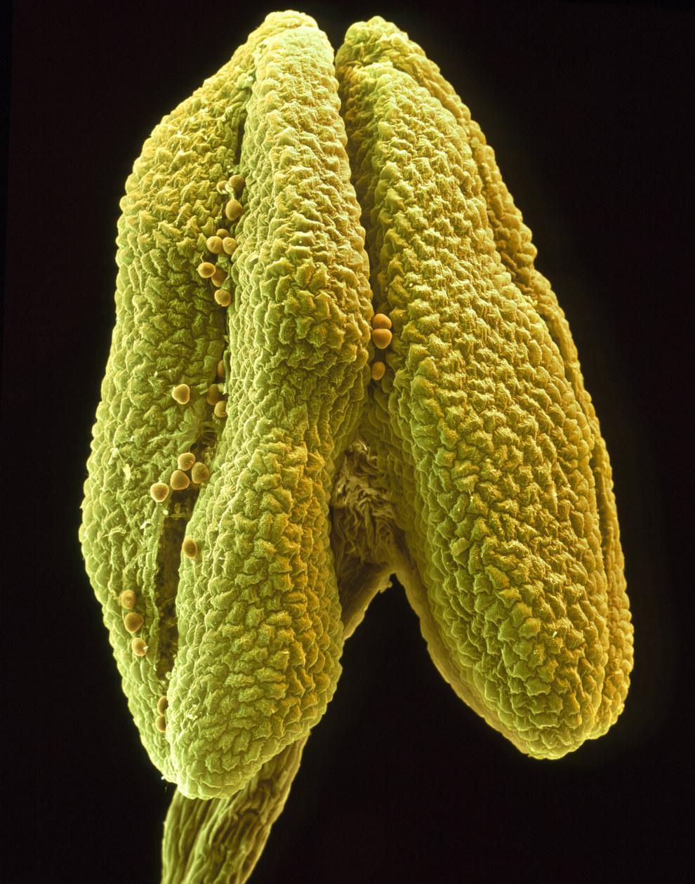 12. Ромашка под микроскопом. [Нажмите на фотографию] .