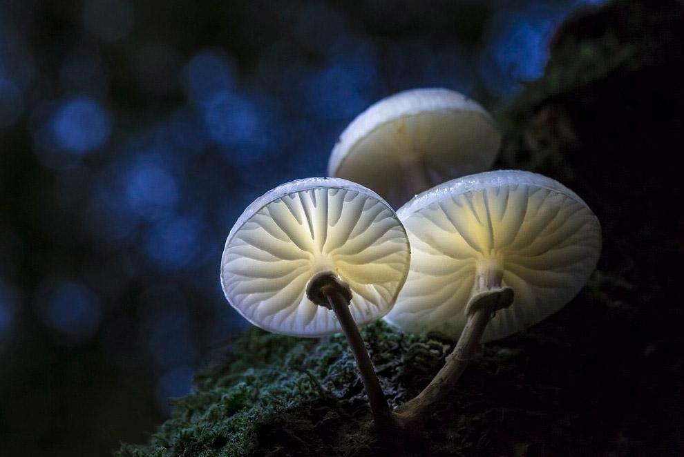 13. Лепиота, или чешуйница — род грибов семейства Шампиньоновые.