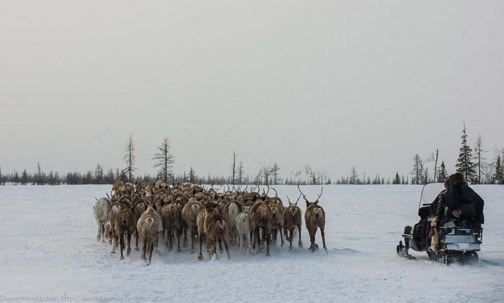 Собрав всех оленей на довольно небольшой поляне, Вадим и его родственник достали веревки с петл