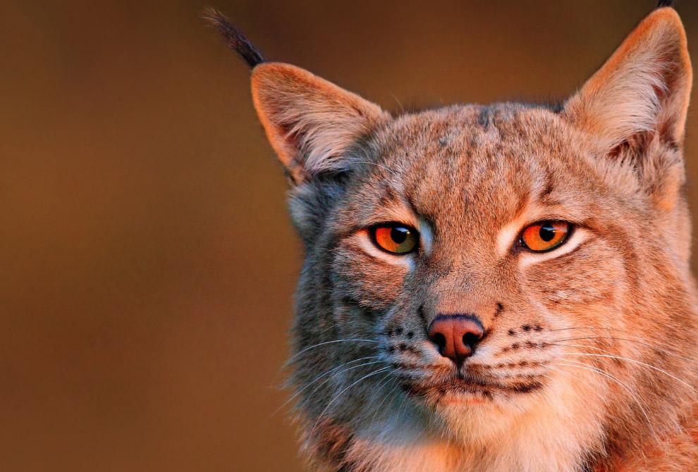 5. Задумчивый и немного грустный гепард.