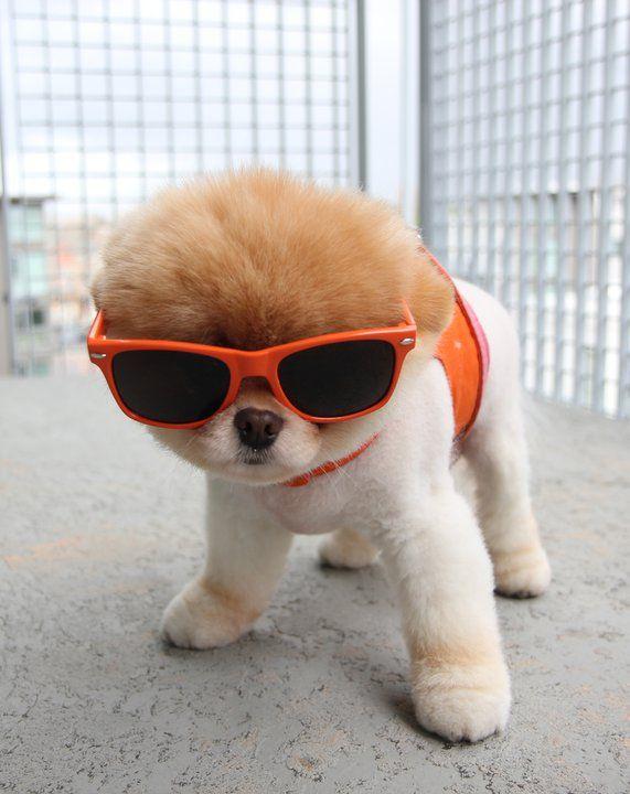Собачка Boo - самая популярная собака