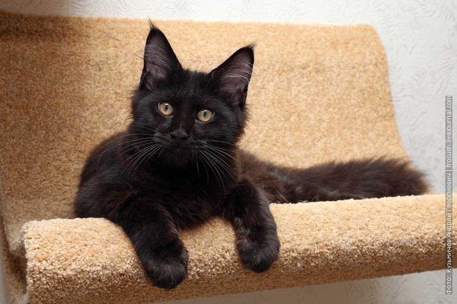 черный котенок Мейн-кун продажа Москва