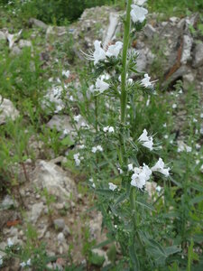Синяк обыкновенный (Echium vulgare)
