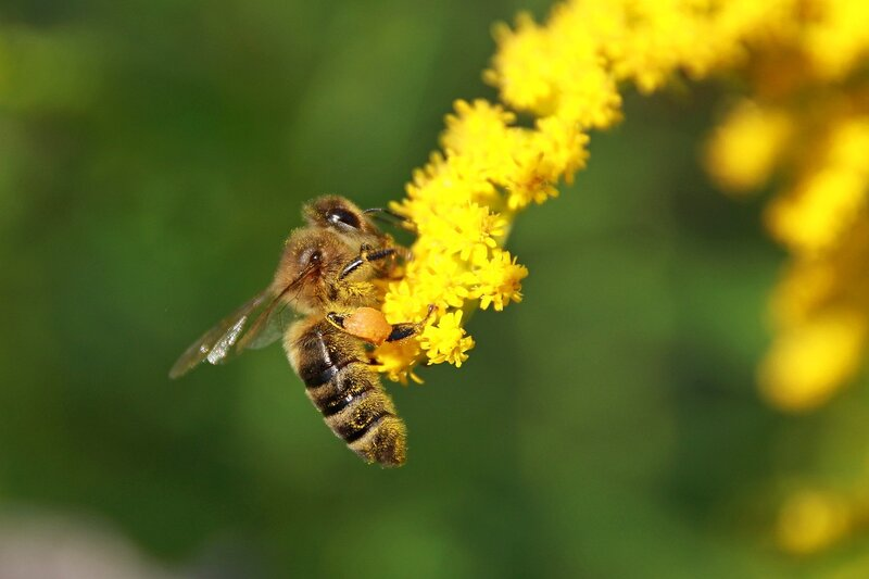 Пчела на жёлтом цветке северной мимозы с пыльцой на ножках 6877