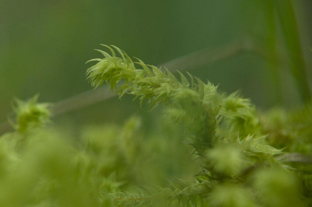 Фото 10. Так выглядит лесной мох при съемке на Nikkor 18-55 + линза close up +4