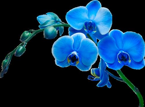 Орхидеи с голубым рисунком