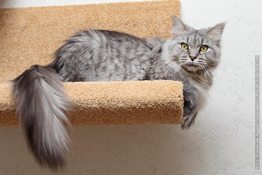 отдам в Москве в хорошие руки кошку Мейн-кун бесплатно