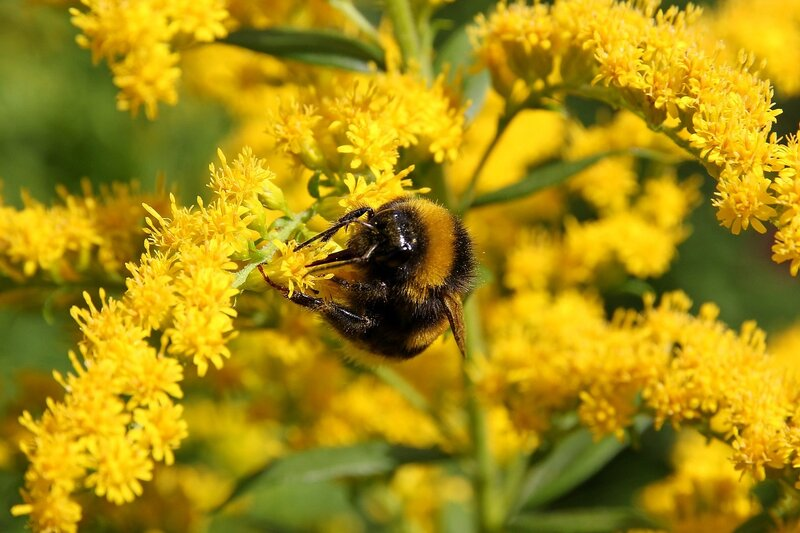 Мохнатый полосатый жёлтый шмель собирает нектар на жёлтых цветках северной мимозы 7340