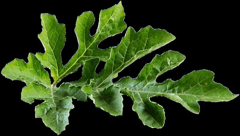 Картинка лист арбуза