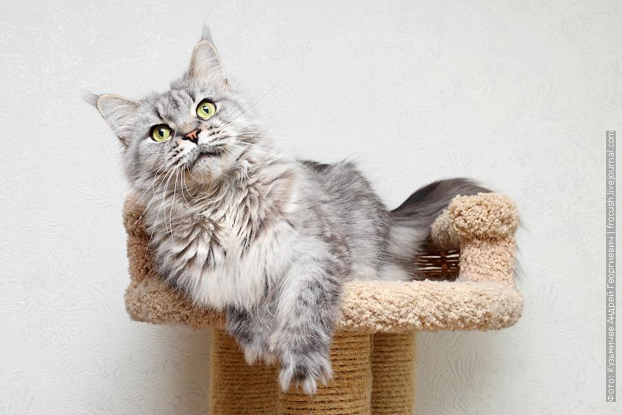 в Москве отдам кошку Мейн-кун бесплатно