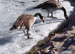 Канадские гуси (казарки)
