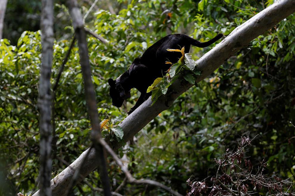 HD Бразилия кошки