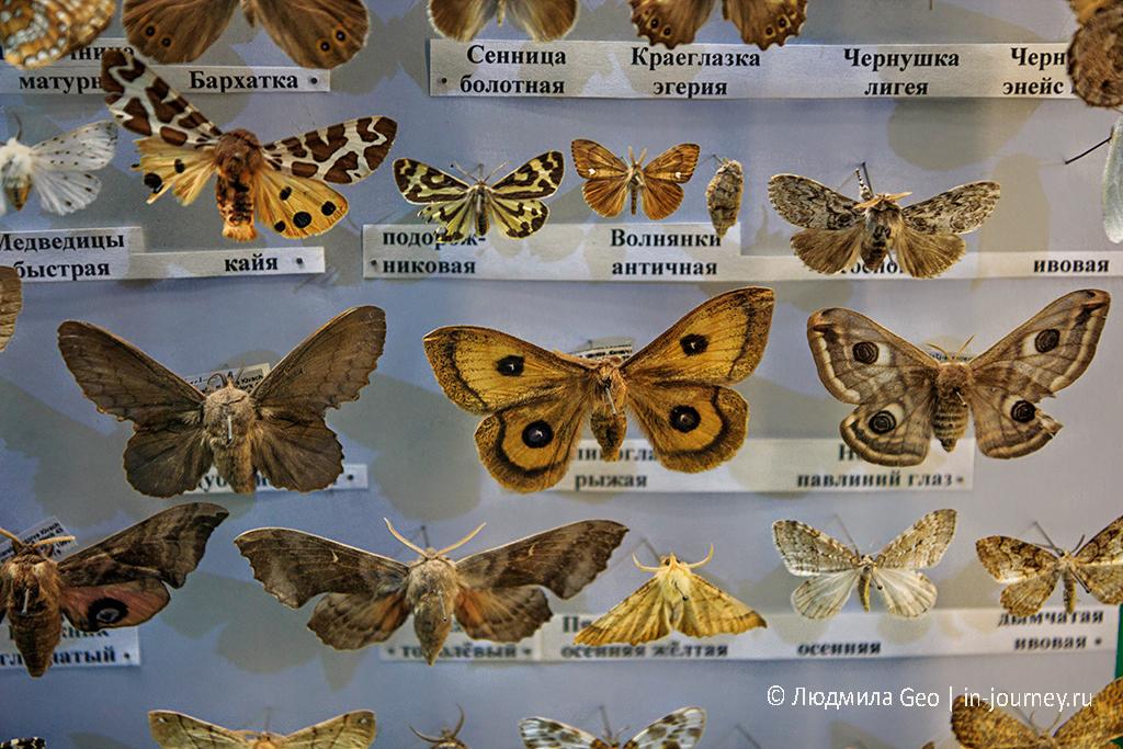 бабочки в музее заповедника Кивач
