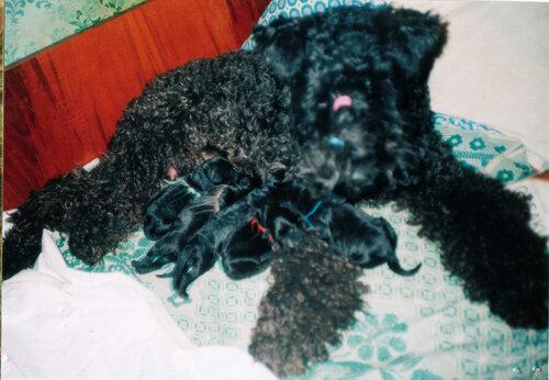 январь 1998 Купидон Реджина со щенками