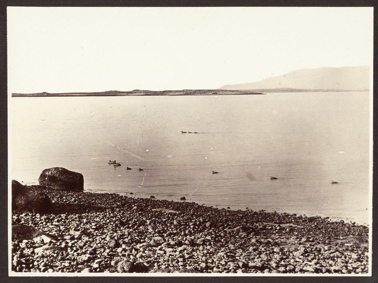 Залив Рейкьявика. Гаги обыкновенные