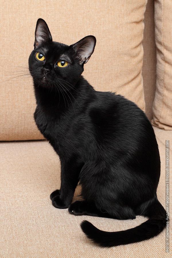 фото бомбейская кошка