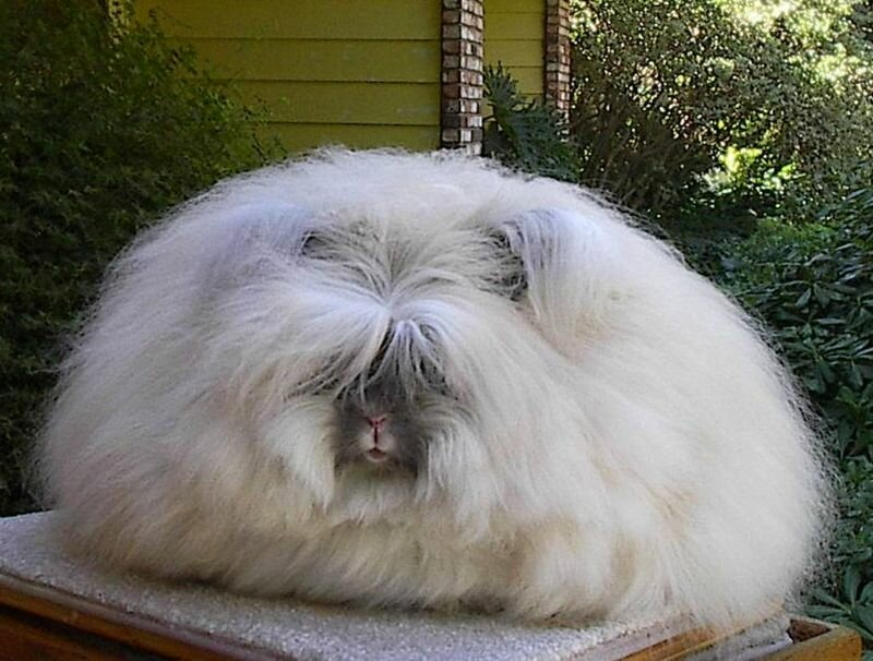 Angora definition and meaning  Collins English Dictionary