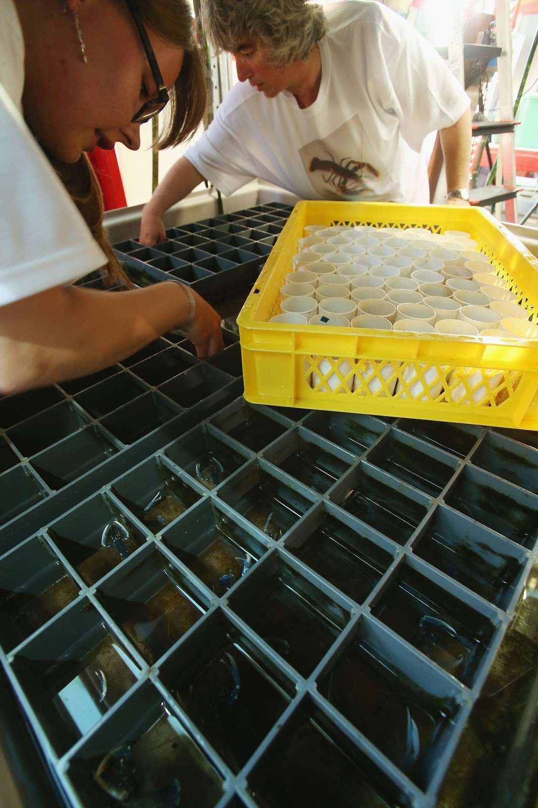 Scientists Release Lobsters To Repopulate Former Habitat