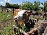 корова рыня.jpg