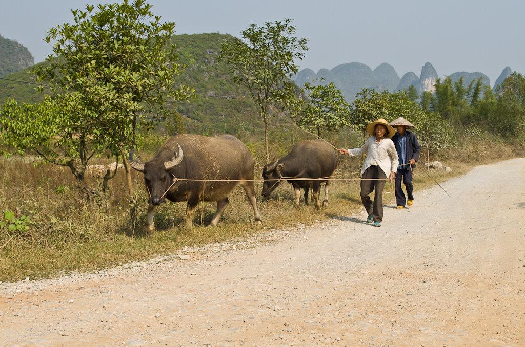 Фотография на Nikon D5100 KIT 18-55. Буйволы в Юго-Восточном Китае встречаются на каждом шагу. Аренда мотоцикла и поездка по окрестностям деревни Яншо