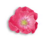 Palvinka_FlowerEssence_flower5sh.png