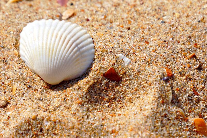 ракушки черного моря фото и названия постоянно пополняются