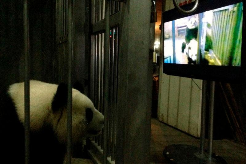 Самка большой панды Лин Кэ наблюдает, как спариваются