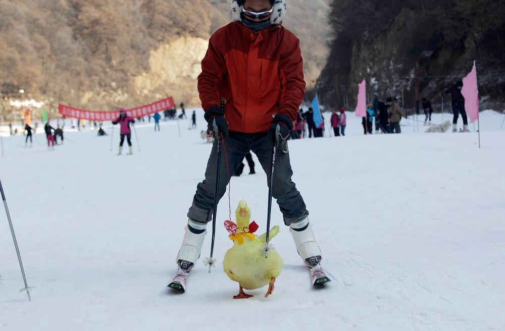 Китаец вывез свою уточку на лыжный курорт 12 января 2014 года.