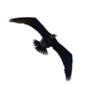 buitre_png_by_eross_666-d53a0kf.png