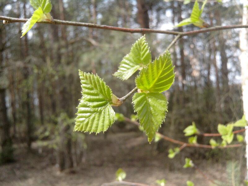 деревья в Беларуси