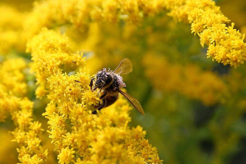 Испачканная в светло-фиолетовой пыльце пчела собирает нектарн на жёлтых цветках северной мимозы 7148