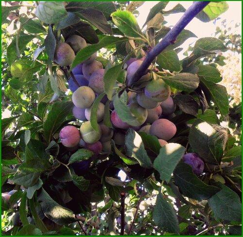 Летние плоды