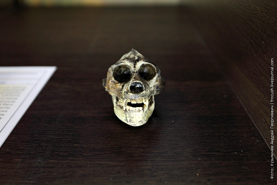 Слепок черепа ископаемого гоминида египтопитека