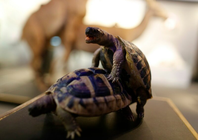 Stuffed copulating tortoises are displayed at exhibition