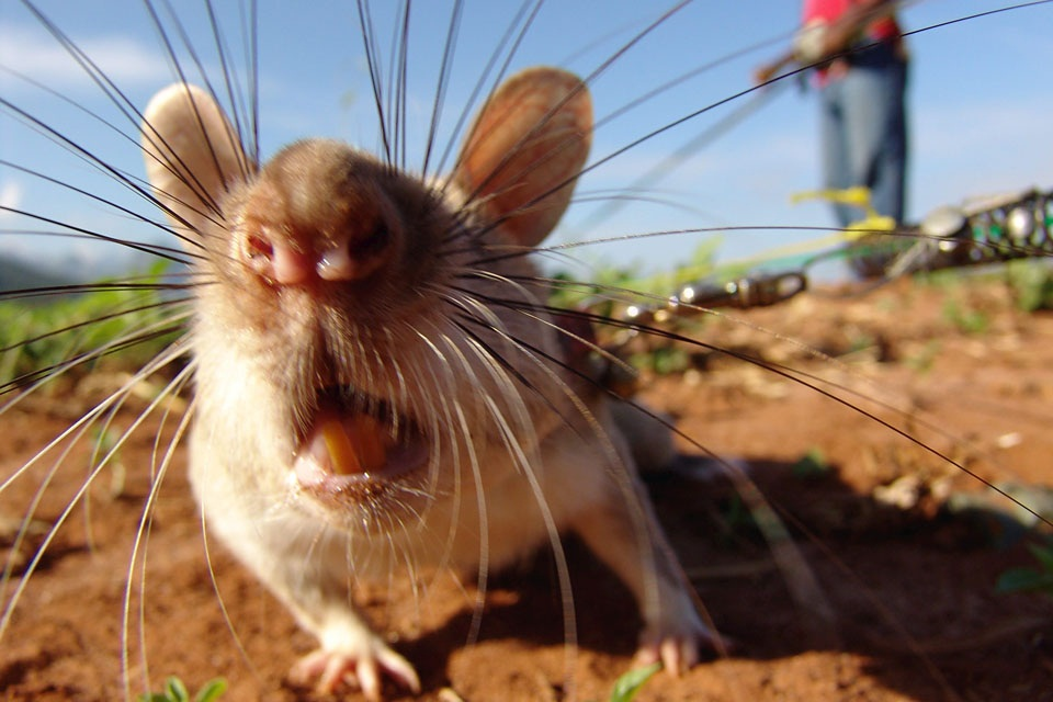 A highly trained rat sniffs out landmines in Mozambique. Now Wendy Winstanley from Cornwall is training 30 rats at her sanctuary, Porfell Wildlife Park, to help clear landmines around the world. See SWNS story SWRAT: These amazing pictures show the new b