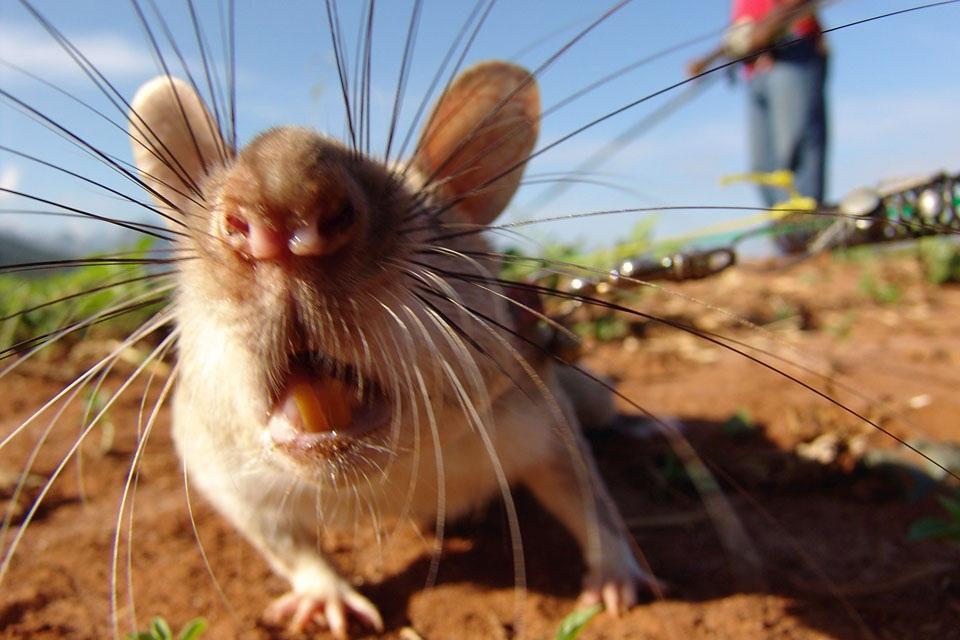 Прикольные картинки про крыс