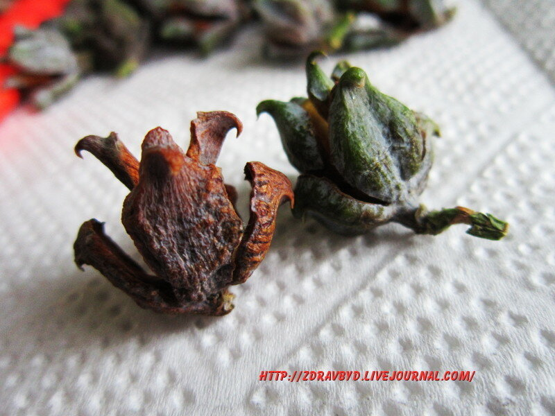 коричневые и зеленые шишки туи