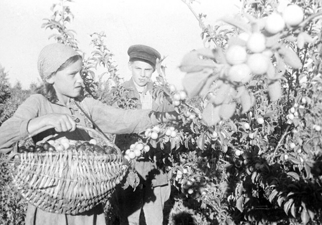 Ученики Березовской средней школы убирают урожай фруктов в саду одного из колхозов области. 1944 г. Амурская область.