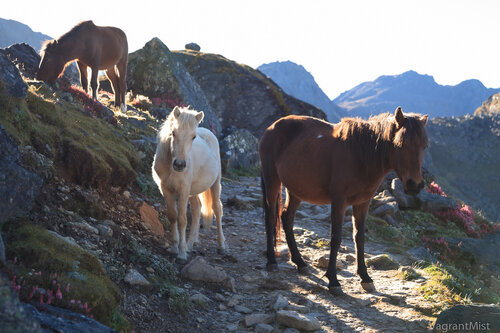 Horses on the pathway to Gosaikunda lake